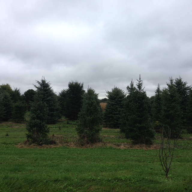 The Real Christmas Tree Farm: Conifera Christmas Tree Farm