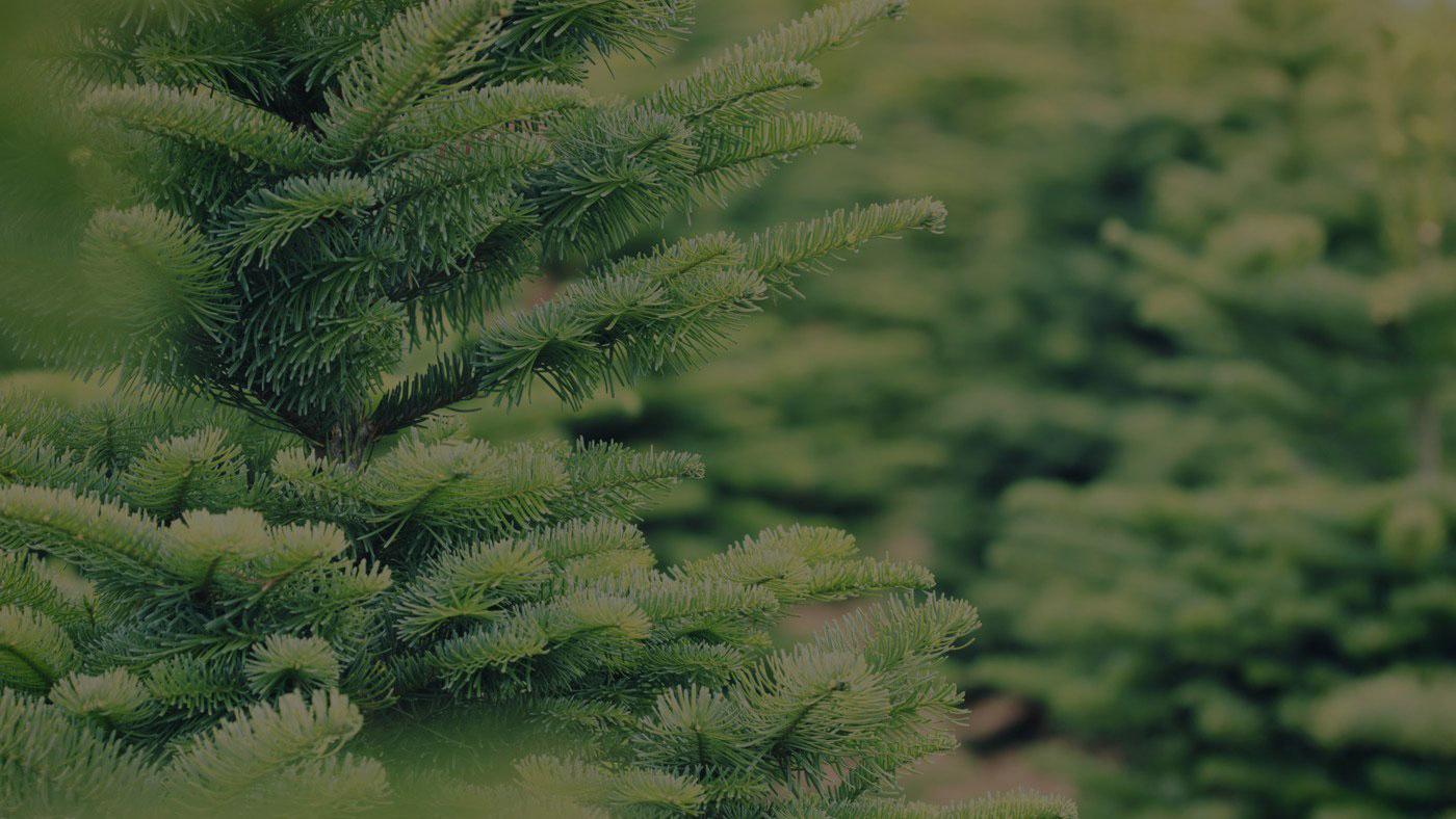 Conifera Christmas Tree Farm